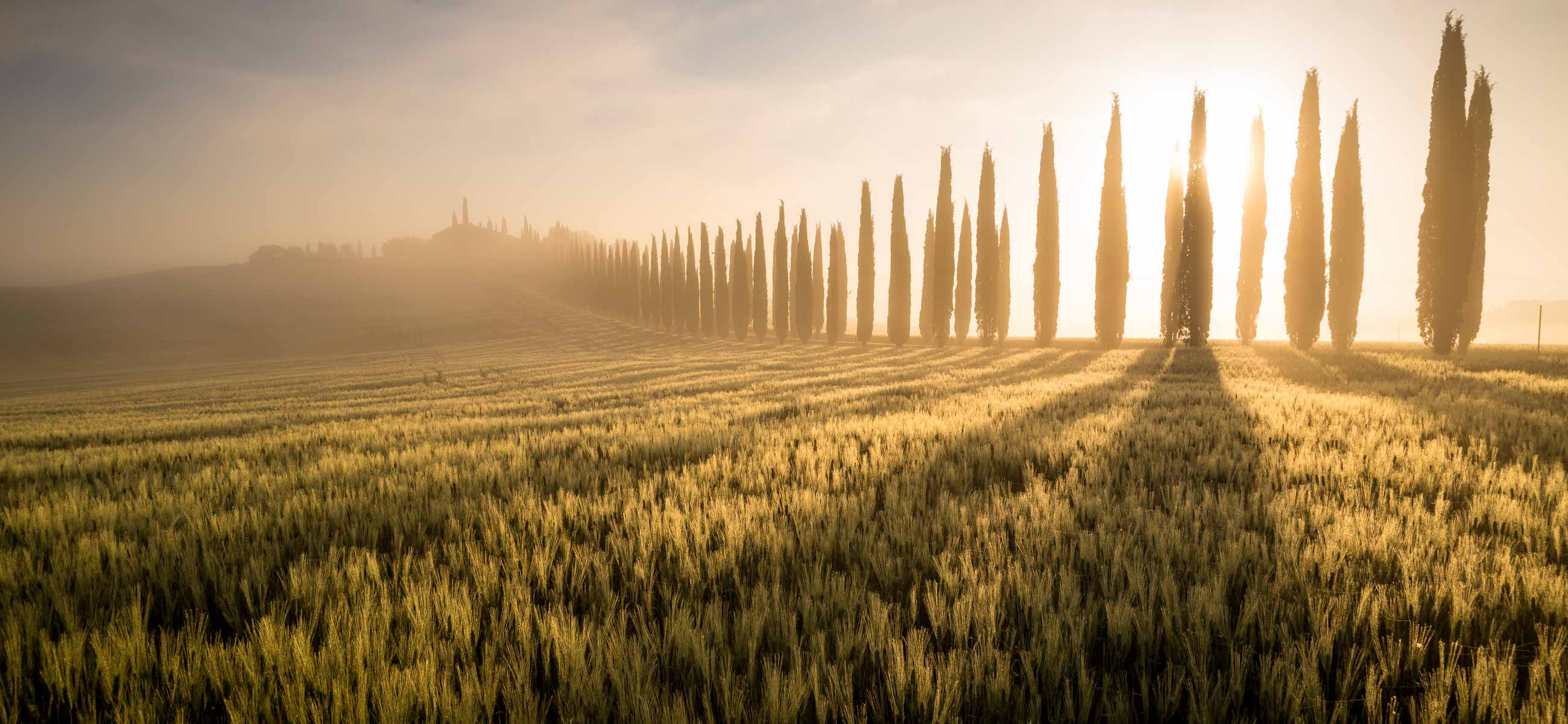Cypress trees in the mist at sunrise in a wheat field at sunrise in tuscany