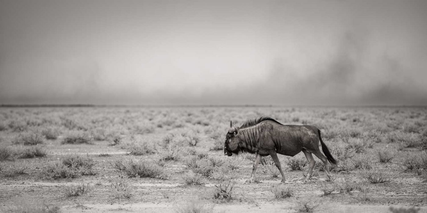 gnu wildebeest walking while a sandstorm rages in the distance Etosha Namibia photo safari