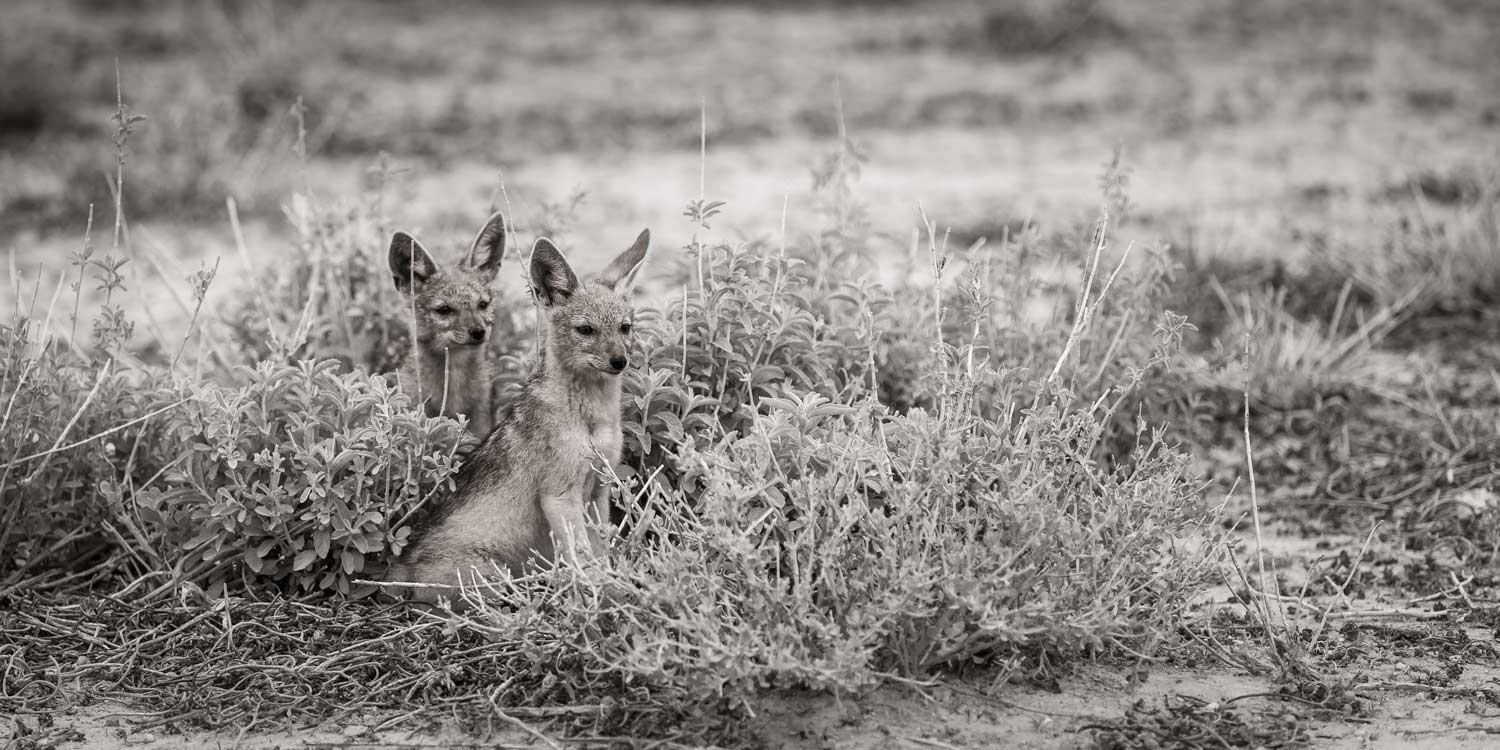 jackal cubs being curious amid low shrubs in Etosha Namibia photo expedition monochrome