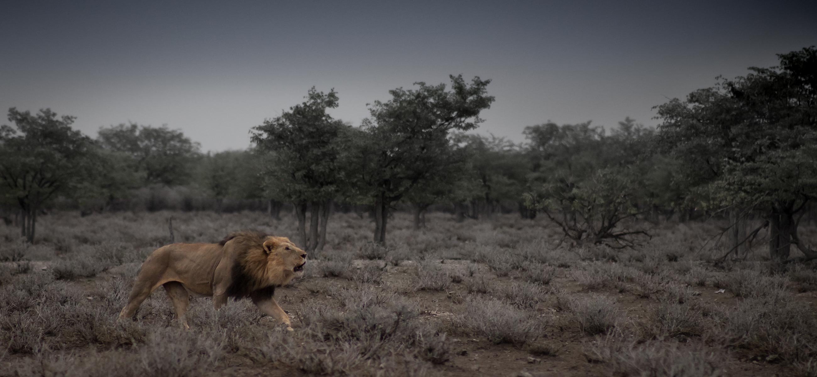 lion roaring in Etosha Namibia early morning during game drive