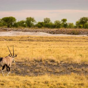 oryx gemsbok with yellow grass in Etosha Namibia during game drive late afternoon photo safari