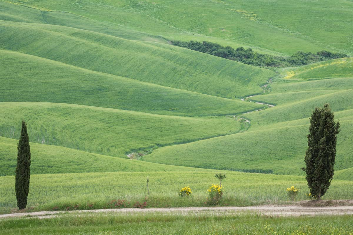 Green wheat fields in Tuscany with a little stream winding down like a snake flanked by two cypress trees