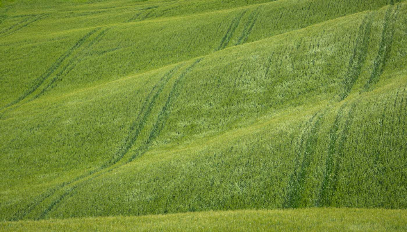 Rolling hills in Tuscany with green wheat fields moving in the wind