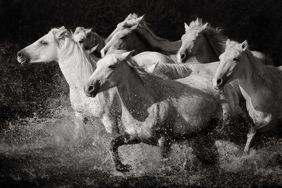 White horses running through water in Camargue