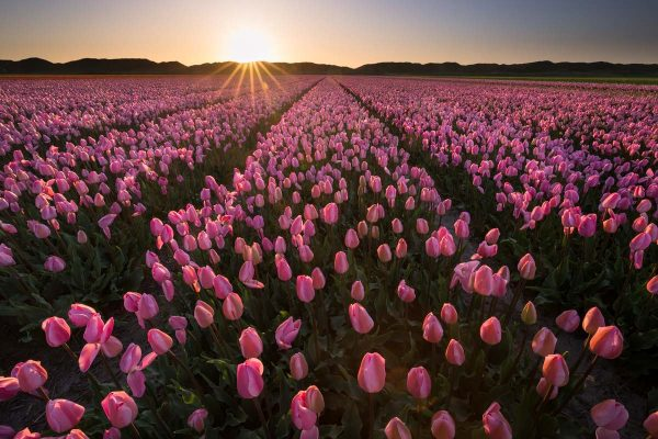 Photography composition rules tulips at sunset