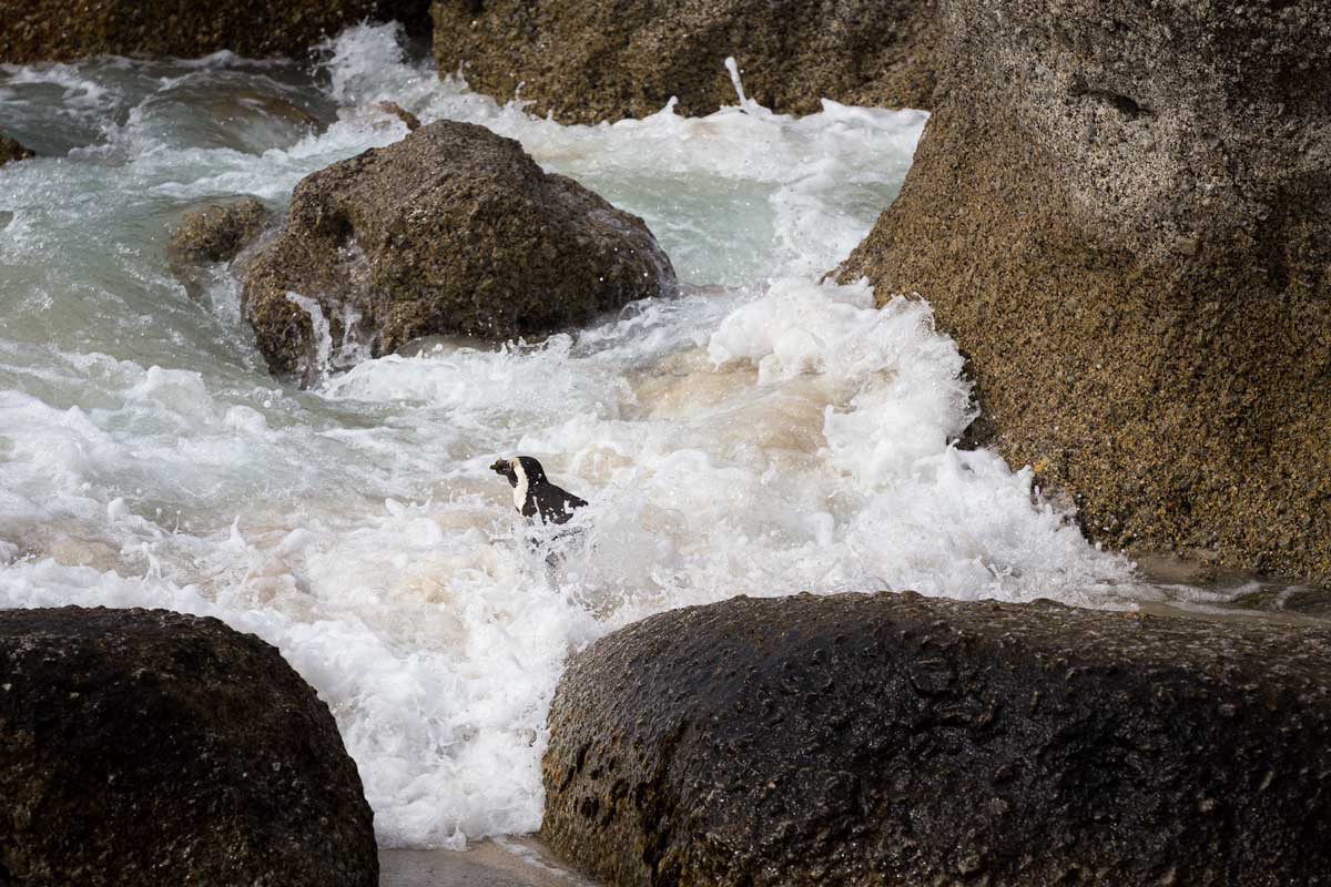 penguin in the waves
