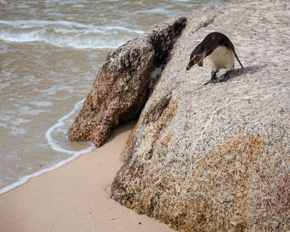 Penguin looking down from a rock