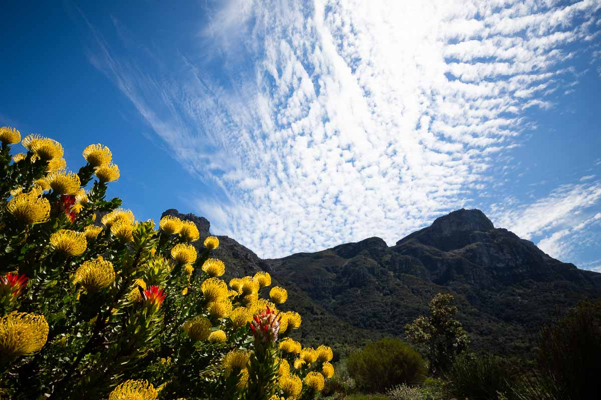Pin cushion proteas with the eastern side of Table Mountain on the background