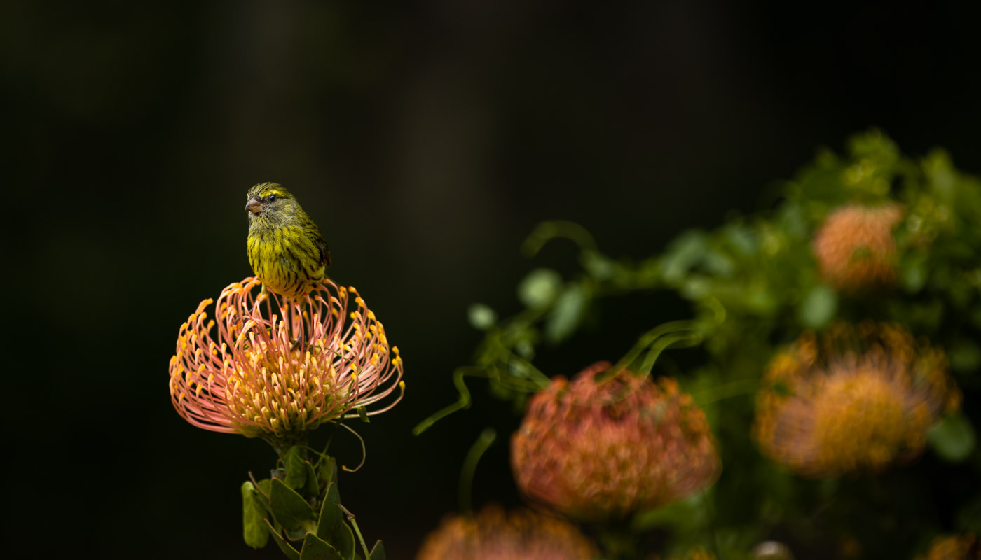 Bird on pincushion protea