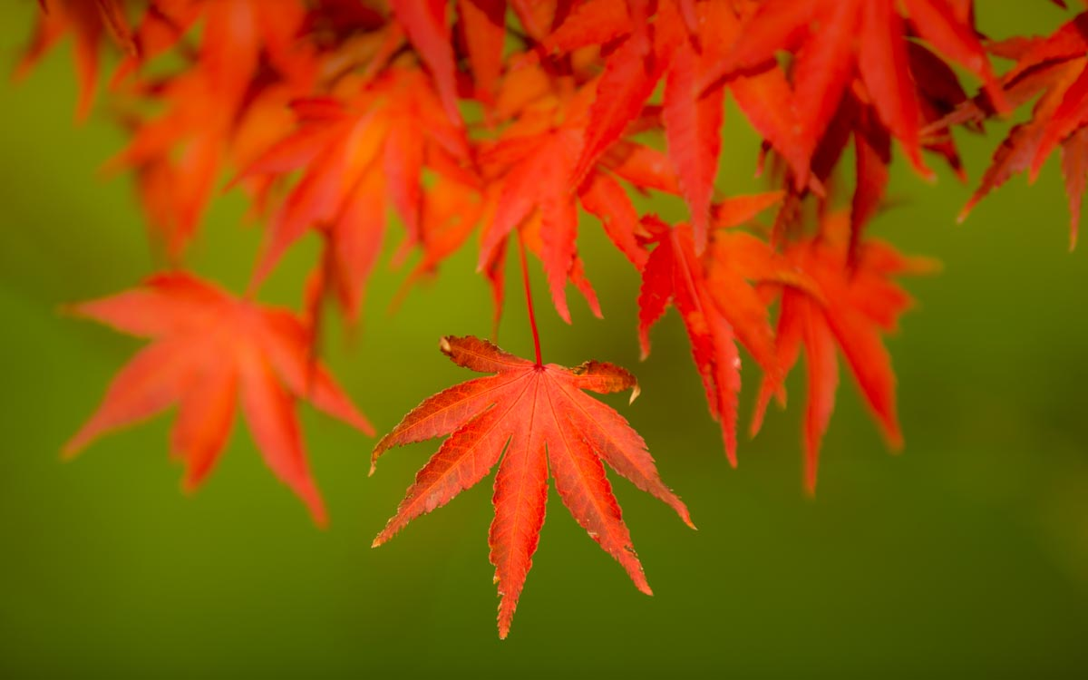 red maples leaves on green background