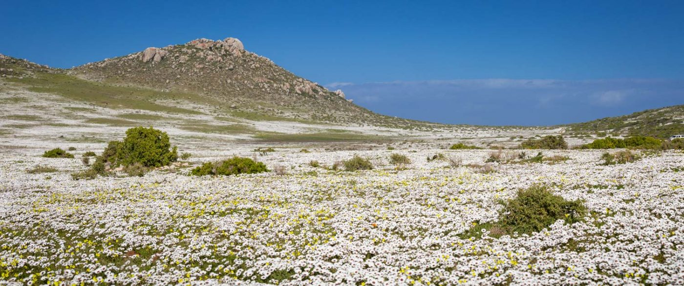 wildflowers at the postberg nature reserve with white daisies and mountains