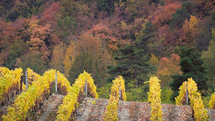 vineyard in autumn with forest in the background