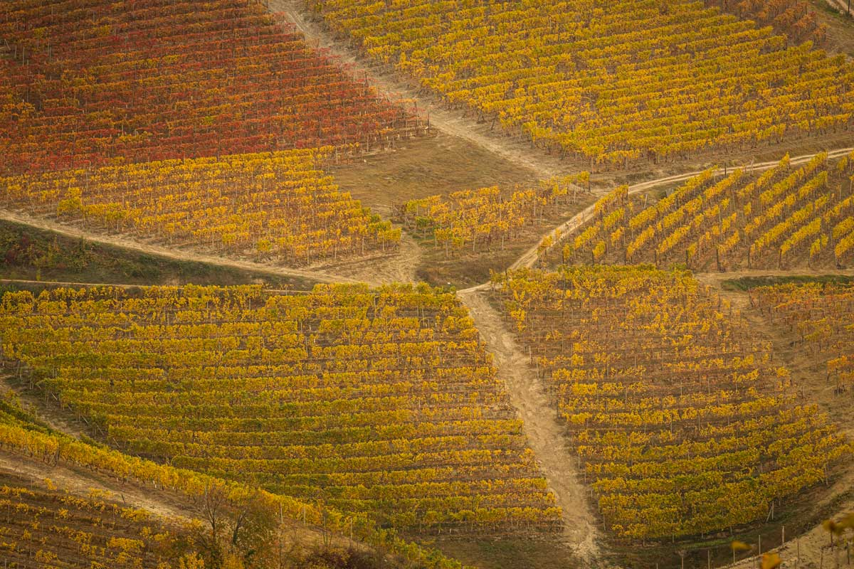 vineyards in fall in the Langhe area of Italy