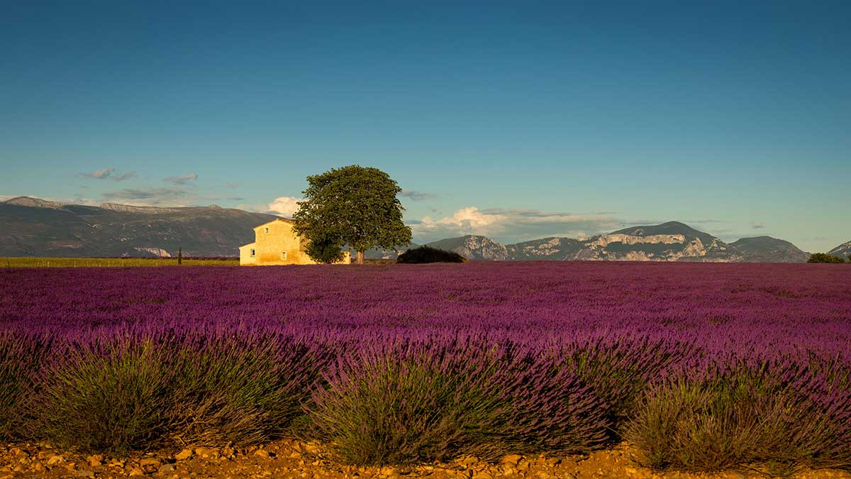 lavender with landhouse