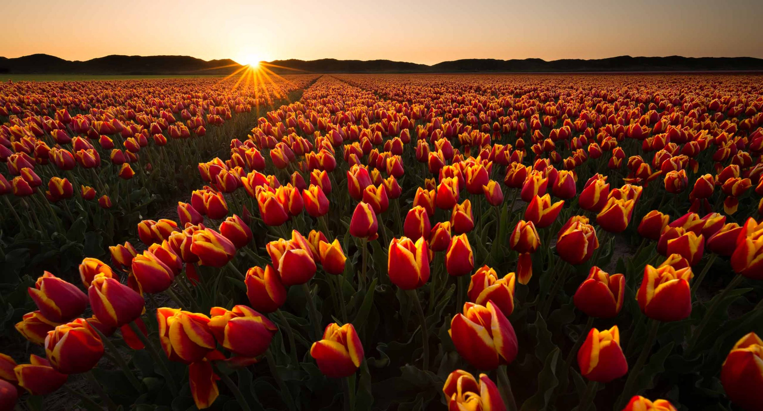 red yellow tulips at sunset in the netherlands in spring