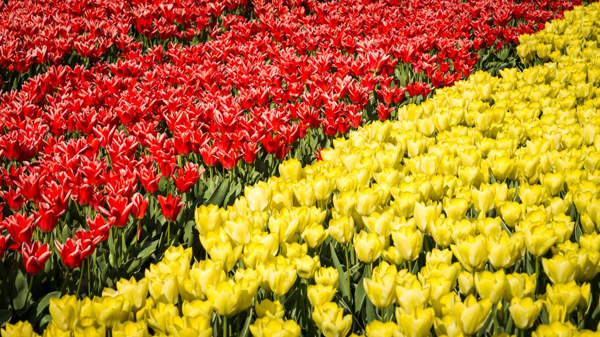 Red and yellow tulips split over the diagonal of the photo
