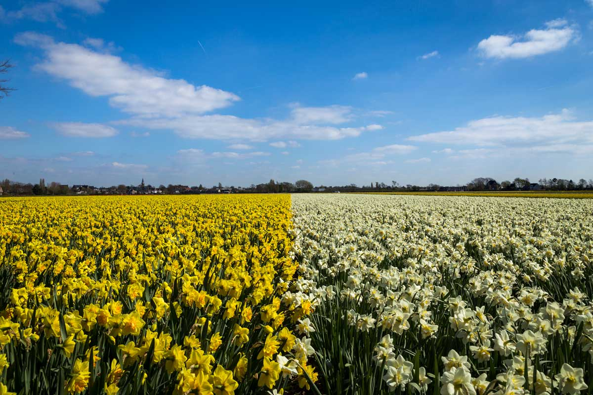 Field of yellow daffodils under a blue sky