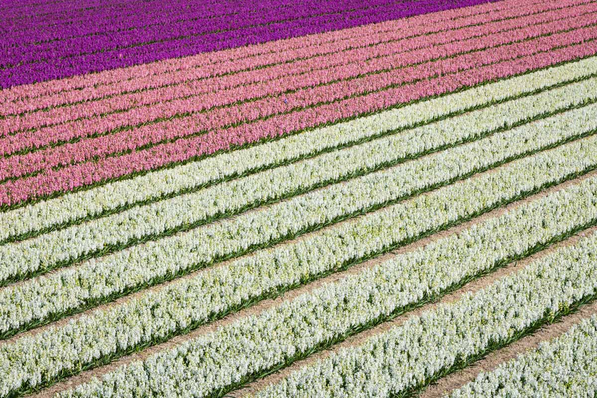 Rows of hyacinths, purple, pink and white