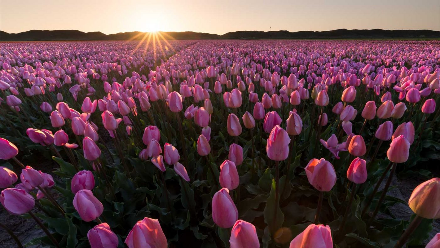 pink tulips at sunset using focus stacking